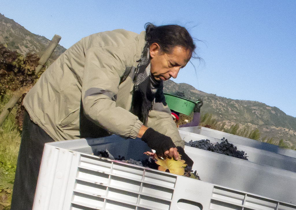 photo of person separating grapes in a bin