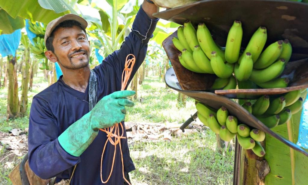 A green-gloved banana worker smiles at the camera while picking green bananas on a plantation.